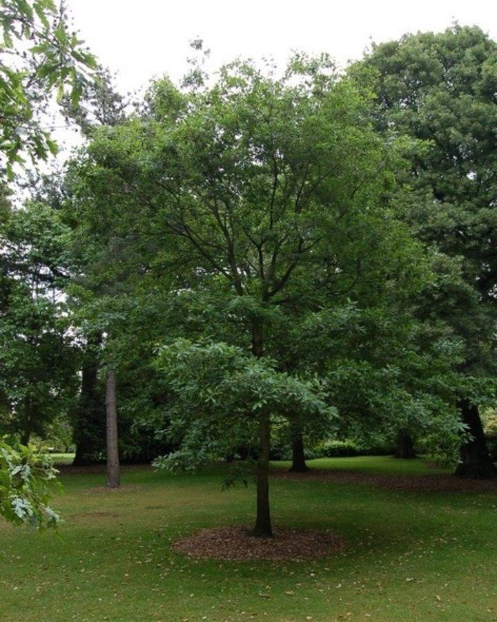 Quercus petraea / Eik