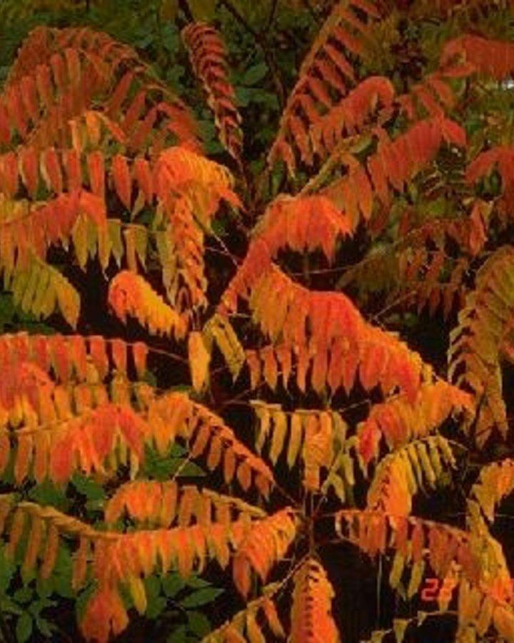 Rhus typhina / Fluweelboom