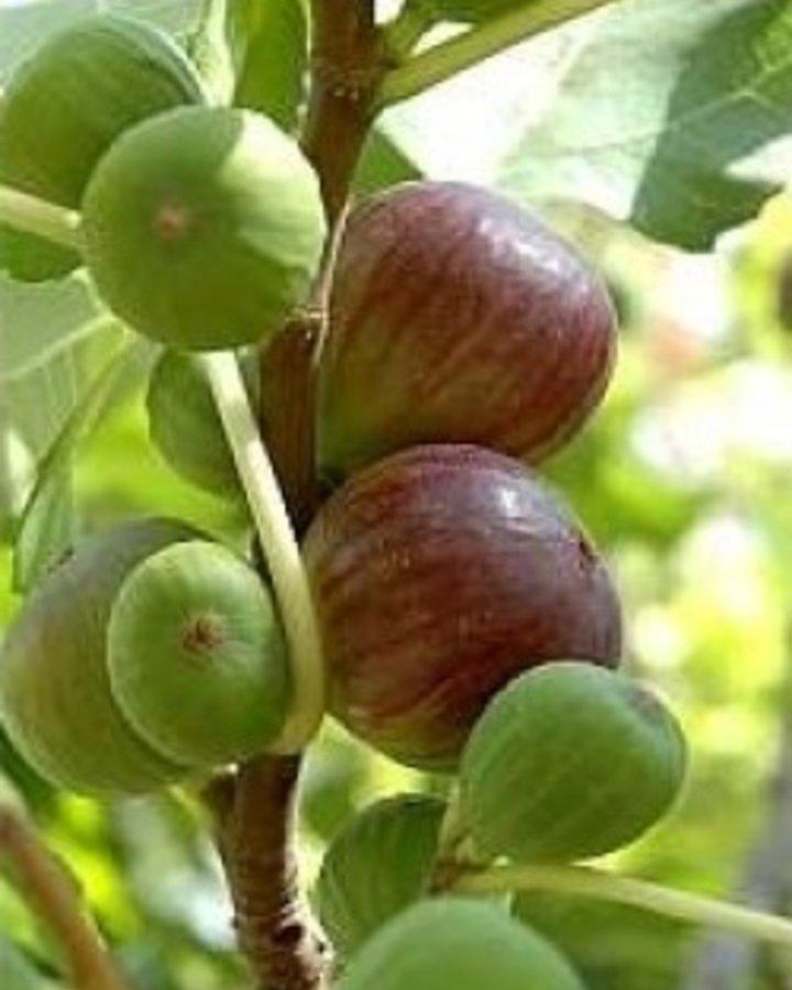 Ficus carica 'Brown Turkey' / Vijg
