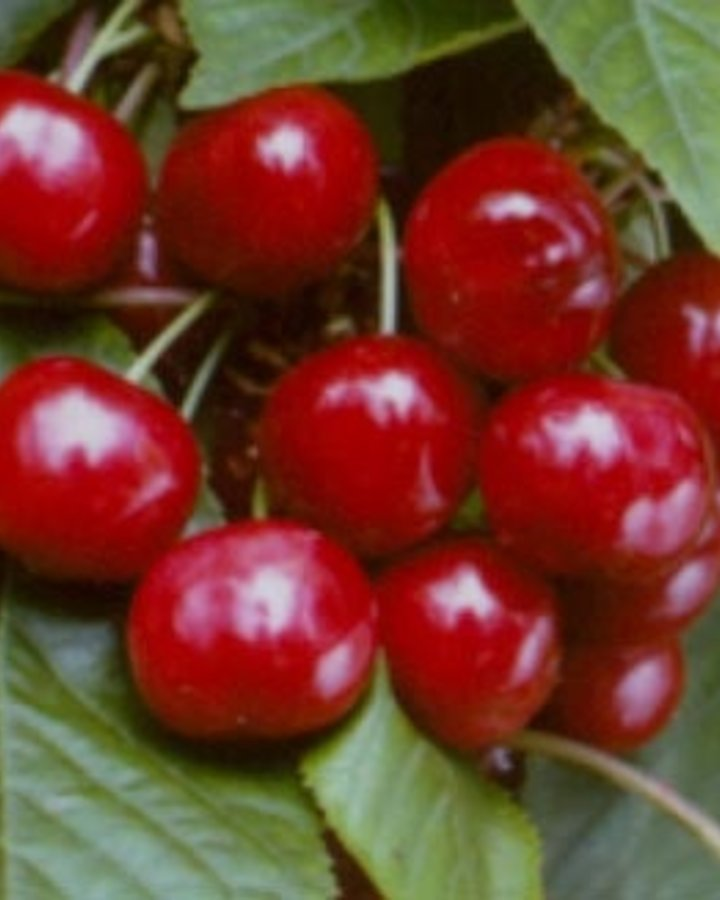 Prunus a. 'Stella' | Zoete kers | Wortelgoed