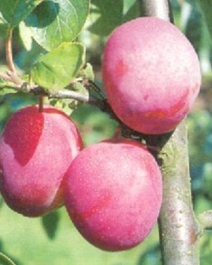 Prunus d. 'Victoria' | Rode pruim | Wortelgoed