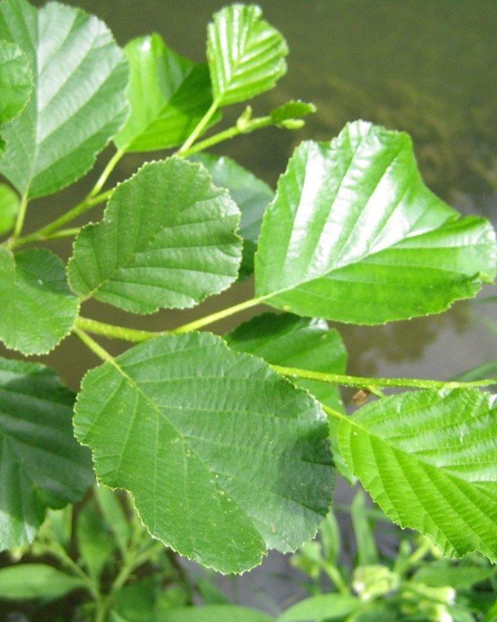 Alnus glutinosa / Zwarte els