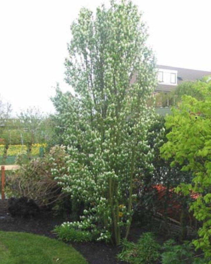 Amelanchier alnifolia 'Obelisk' | Krentenboompje | Laanboom Wortelgoed