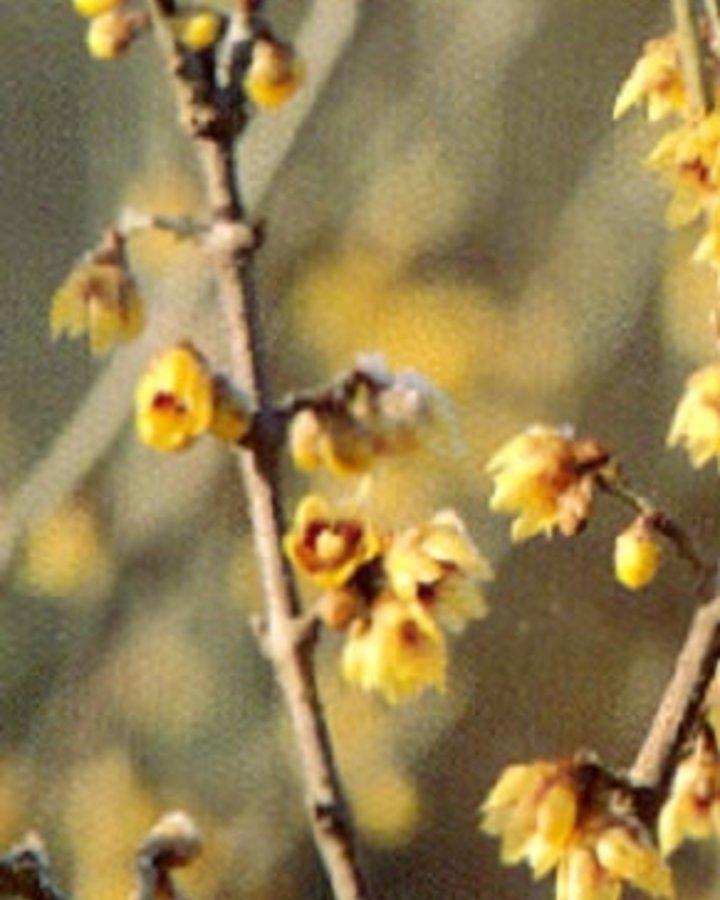 Chimonanthus praecox | Meloenboompje