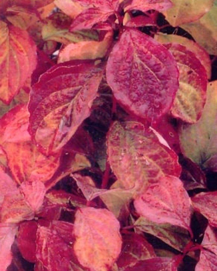 Cornus sanguinea 'Winter Beauty' / Kornoelje
