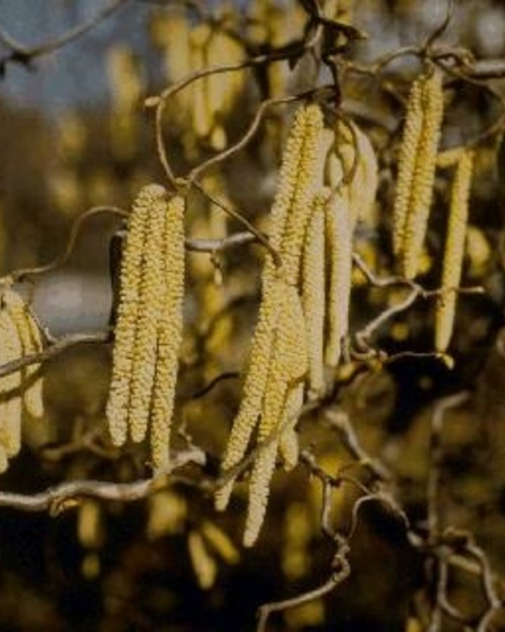 Corylus avellana 'Contorta' / Kurketrekkerhazelaar