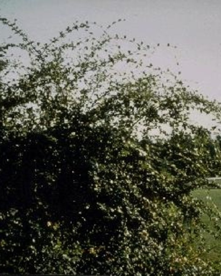 Cotoneaster franchetii / Dwergmispel