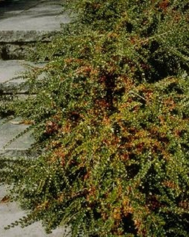 Cotoneaster horizontalis | Dwergmispel