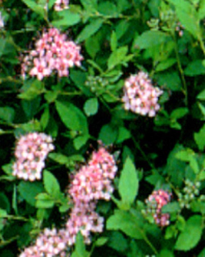 Spiraea japonica 'Little Princess' | Spierstruik  | Heester