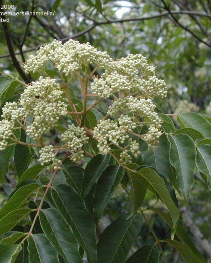 Tetradium daniellii | bijenboom  | Laanboom