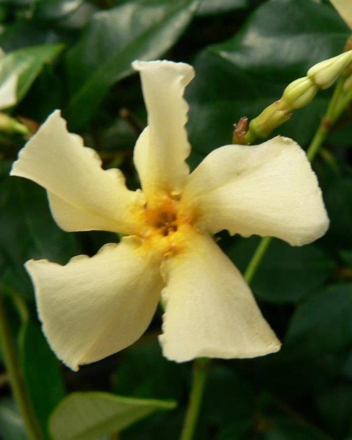 Trachelospermum jasm. 'Star of Toscane' | Toscaanse sterjasmijn  | Klimplanten