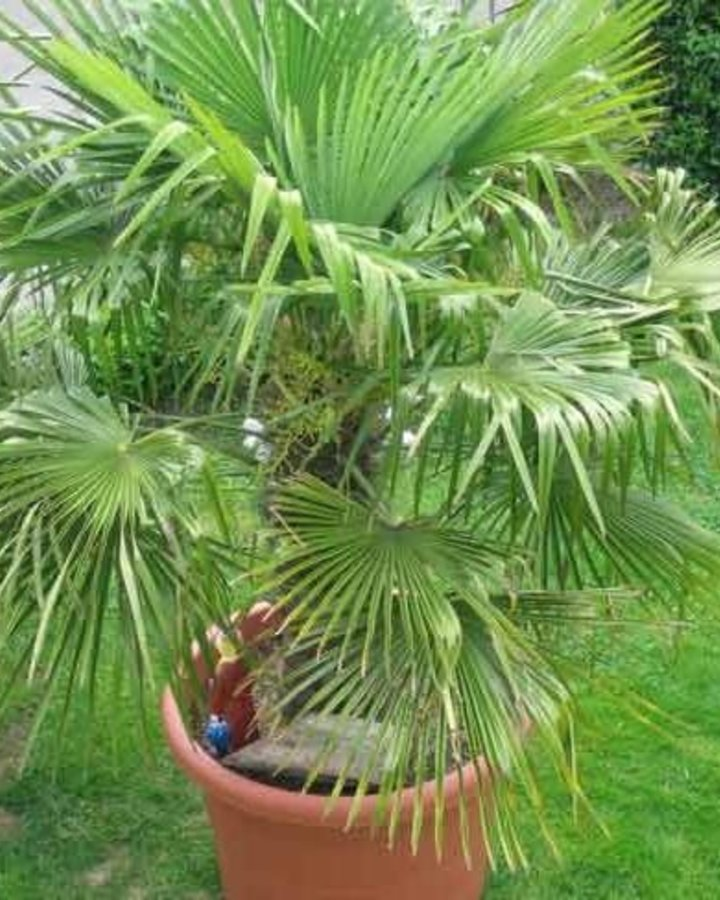 Trachycarpus fortunei / palm