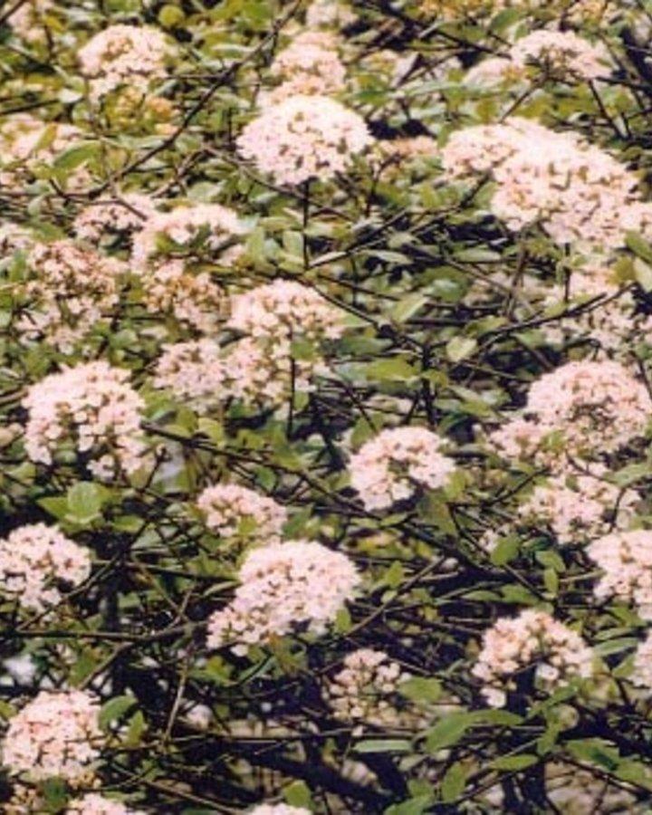 Viburnum burkwoodii / Sneeuwbal