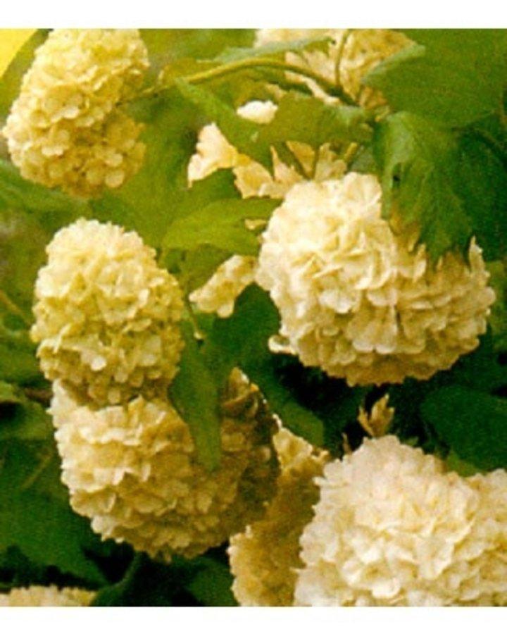 Viburnum opulus 'Compactum' | Sneeuwbal  | Heester
