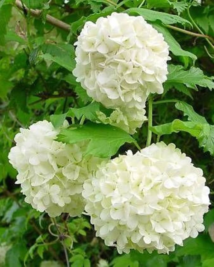 Viburnum opulus 'Roseum' | Sneeuwbal  | Heester