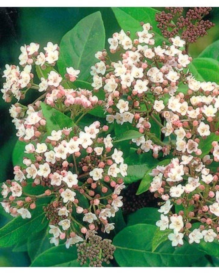 Viburnum tinus 'Eve Price' / Sneeuwbal