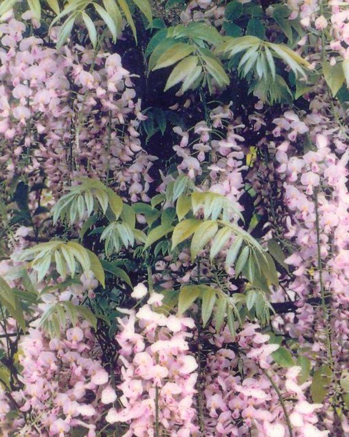 Wisteria flor. 'Rosea' / Roze regen