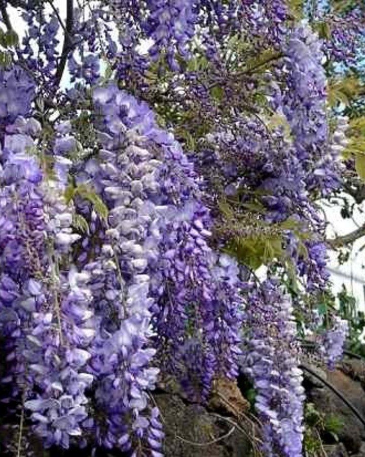 Wisteria formosa 'Issai Perfect' | Blauwe regen  | Klimplanten