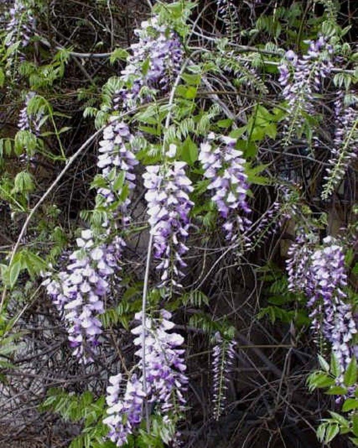 Wisteria sinensis 'Prolific'   Blauwe regen    Klimplanten