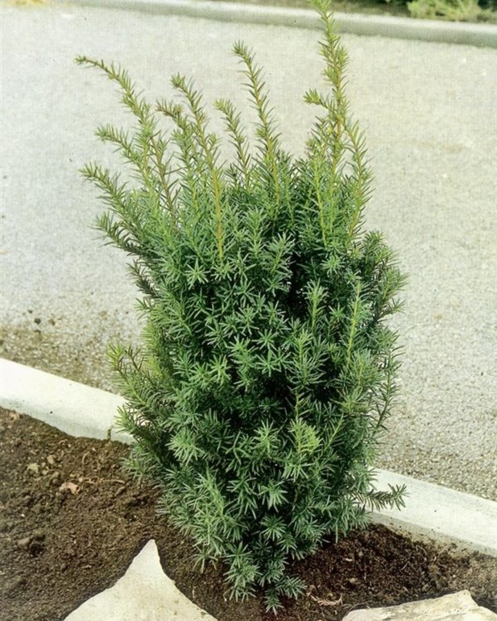 Taxus media 'Hicksii'   Venijnboom    Conifeer