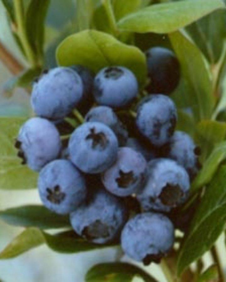 Vaccinium cor. 'Bluecrop' / Amerikaanse bosbes