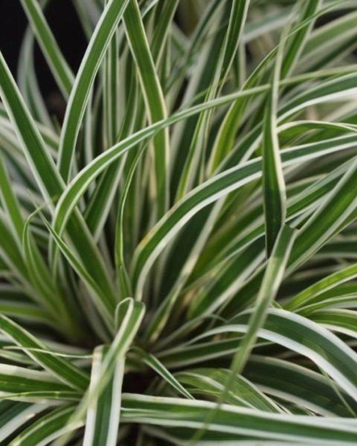 Carex oshimensis 'Everest'  | zegge | Siergras
