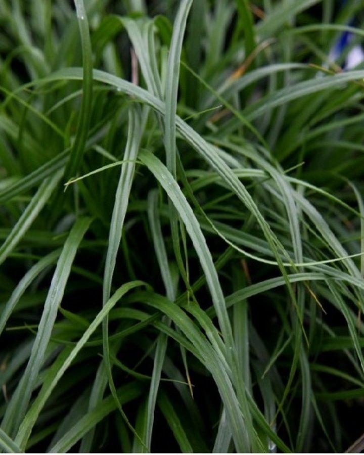 Carex osh. 'Evergreen' / Zegge