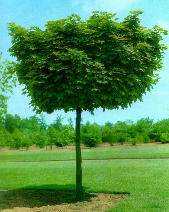 Acer plat. 'Globosum' | Kogelesdoorn | Laanboom Wortelgoed