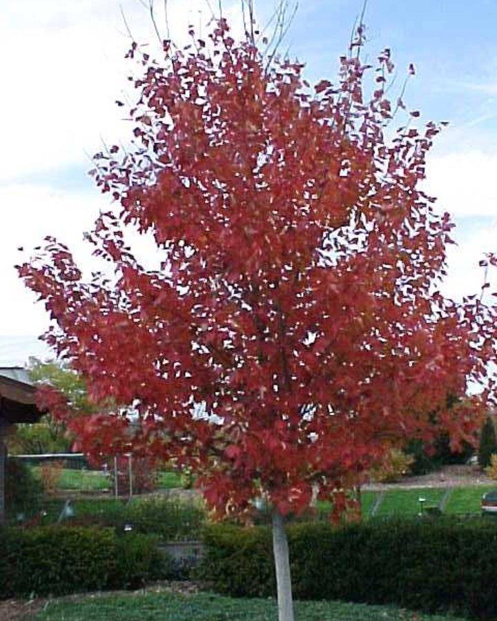 Acer rubrum 'Red Sunset' / esdoorn