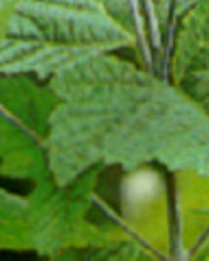 Acer rufinerve   Roodnervige esdoorn   Laanboom Wortelgoed