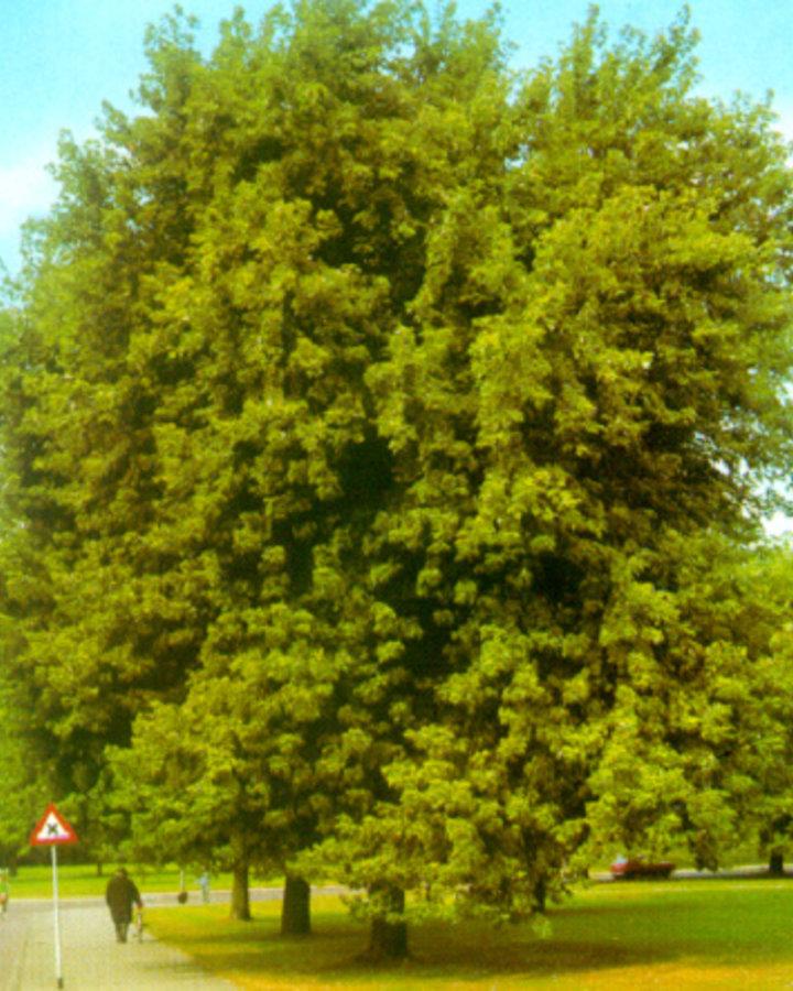 Acer saccharinum | Zilveresdoorn | Laanboom Wortelgoed