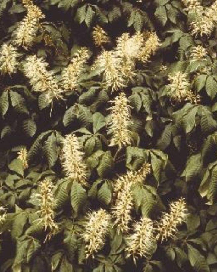 Aesculus parviflora   Struik kastanje   Heester