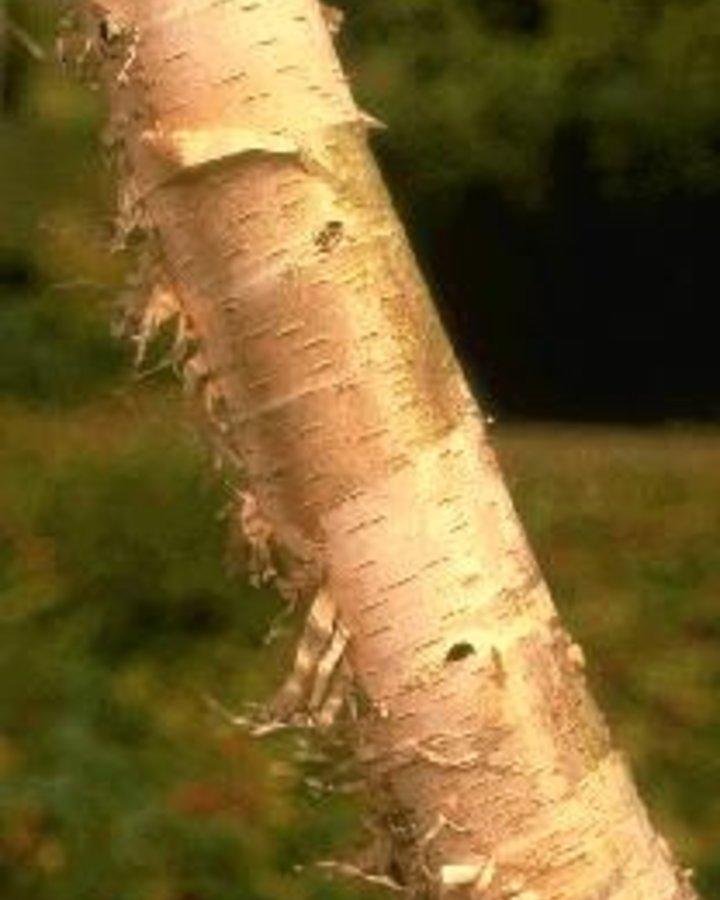 Betula papyrifera / Papierberk