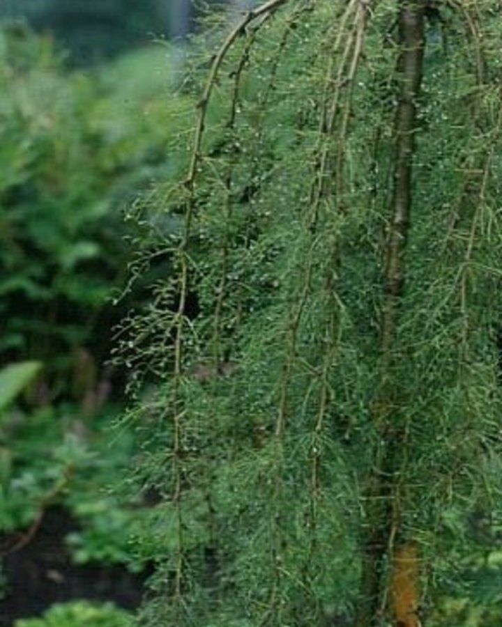 Caragana arborescens 'Walker' | Treurvorm erwtenstruik  | Laanboom Wortelgoed