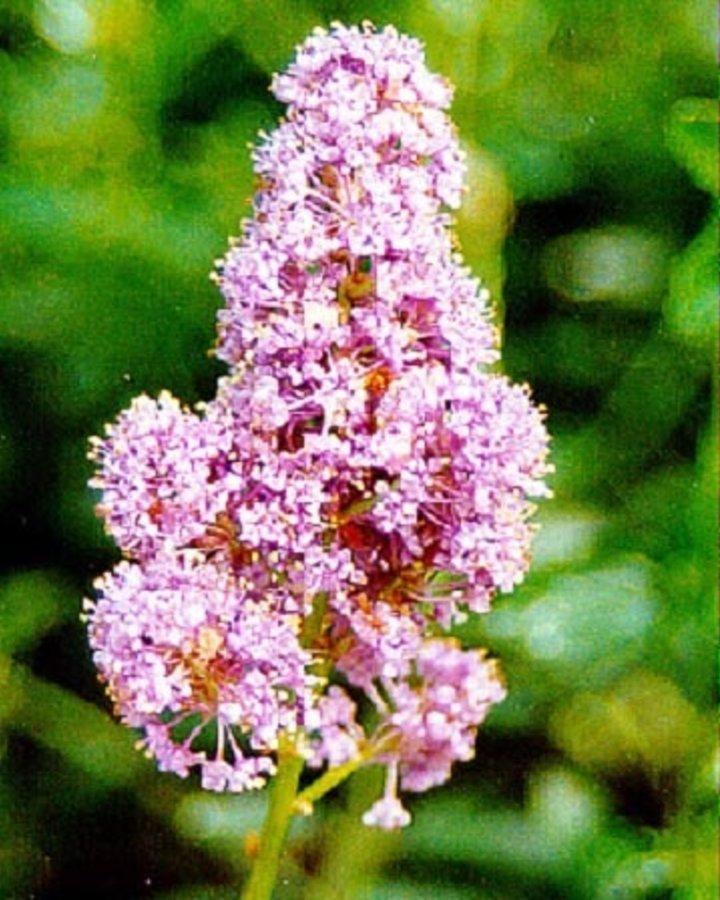 Ceanothus pallidus 'Marie Simon' / Amerikaanse sering