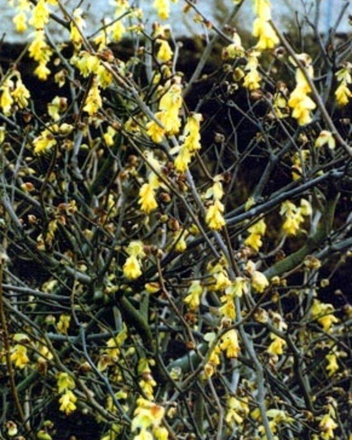 Corylopsis spicata | Schijnhazelaar