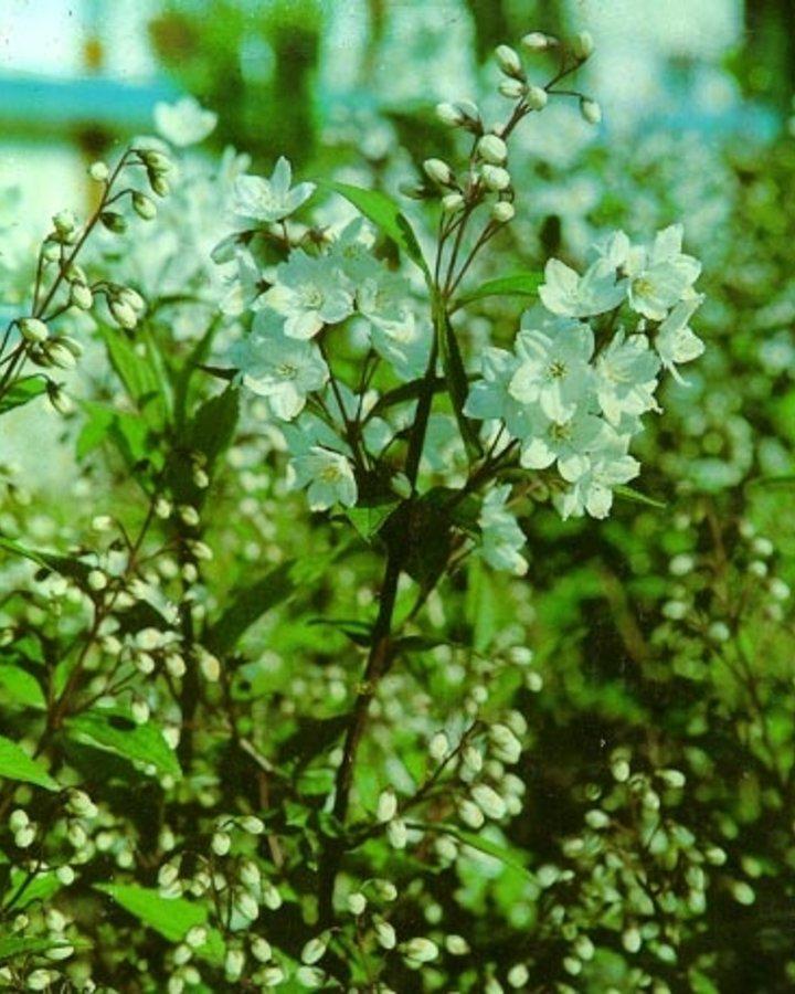 Deutzia gracilis | Bruidsbloem  | Heester