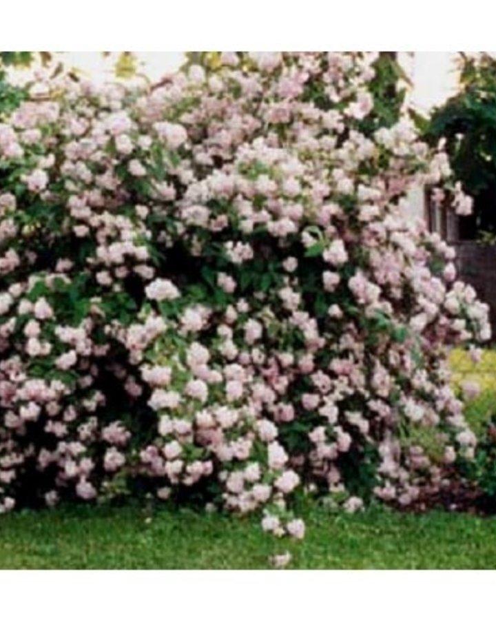 Deutzia hybrida 'Mont Rose' | Bruidsbloem  | Heester