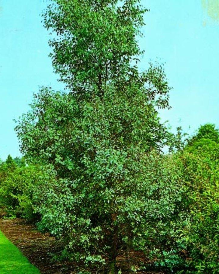 Eucalyptus gunnii / Gomboom