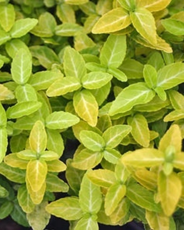 Euonymus fort. 'Goldy'