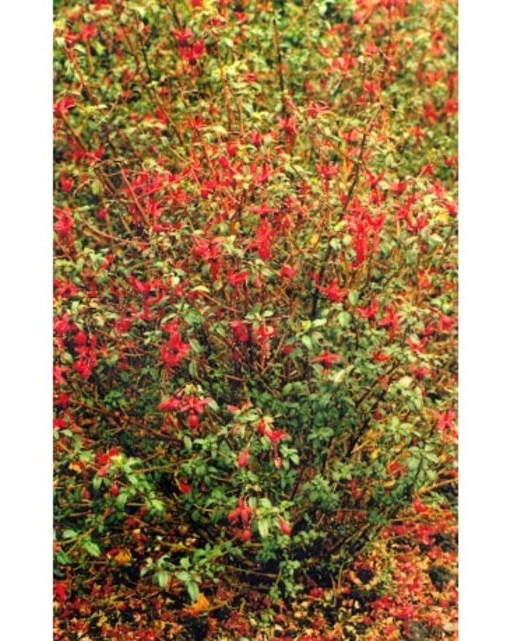 Fuchsia 'Riccartonii' | Bellenplant