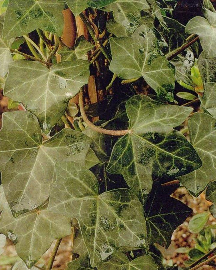 Hedera hibernica   Klimop    Klimplanten