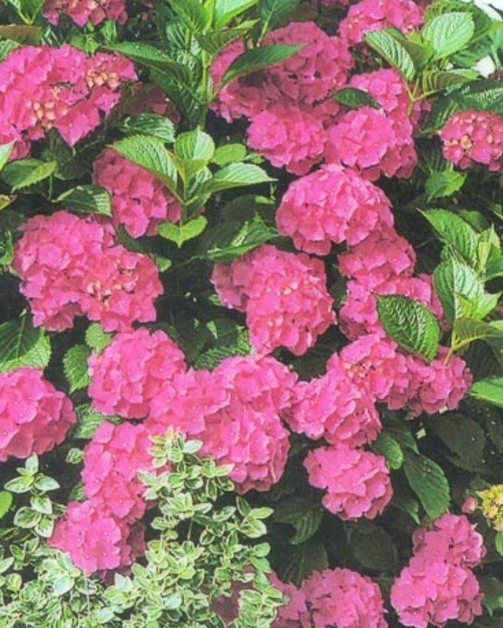 Hydrangea macrophylla / Hortensia