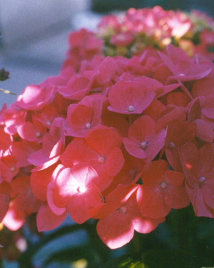Hydrangea macr. 'Renate'   Hortensia    Heester