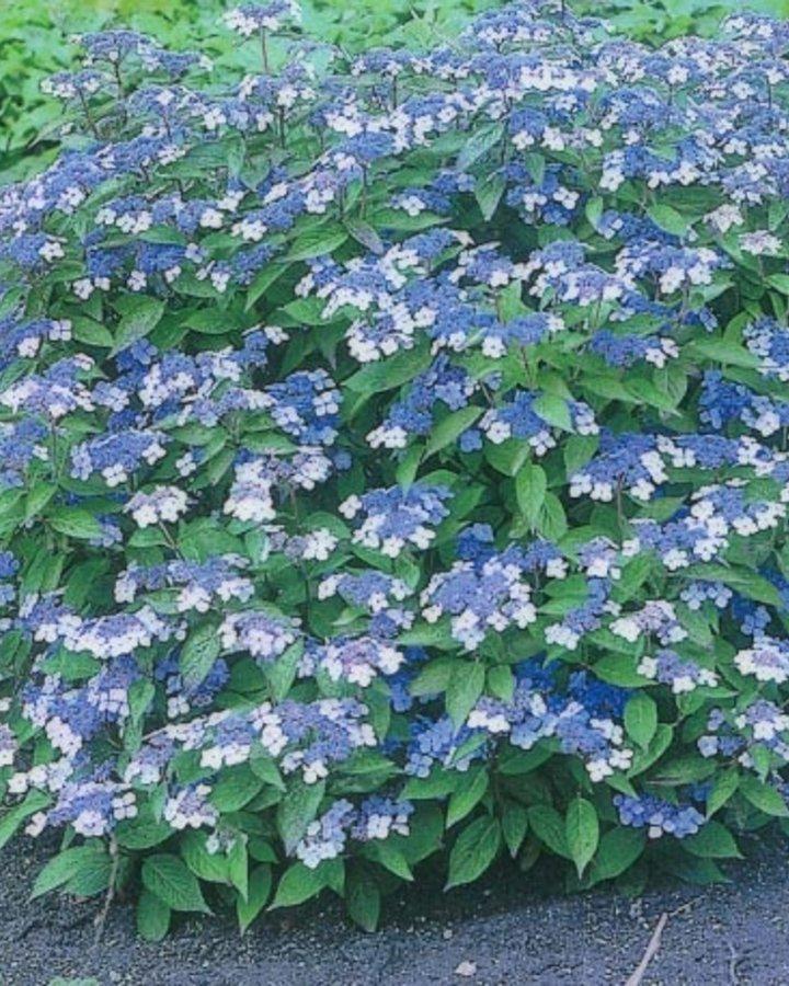 Hydrangea serr. 'Bluebird' / Hortensia
