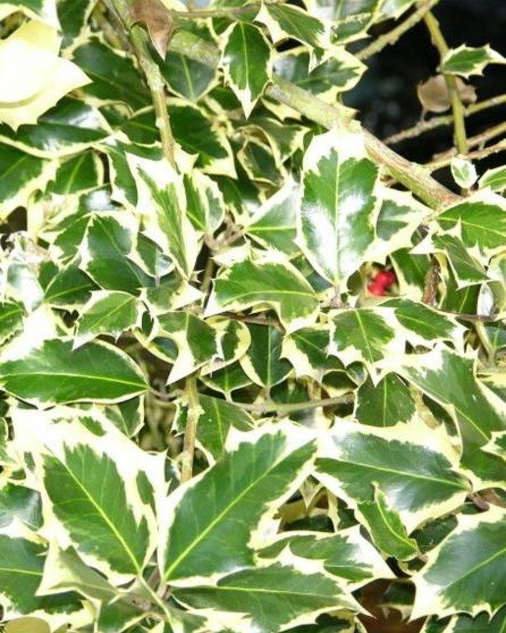 Ilex aq. 'Argentea Marginata' | hulst  | Heester