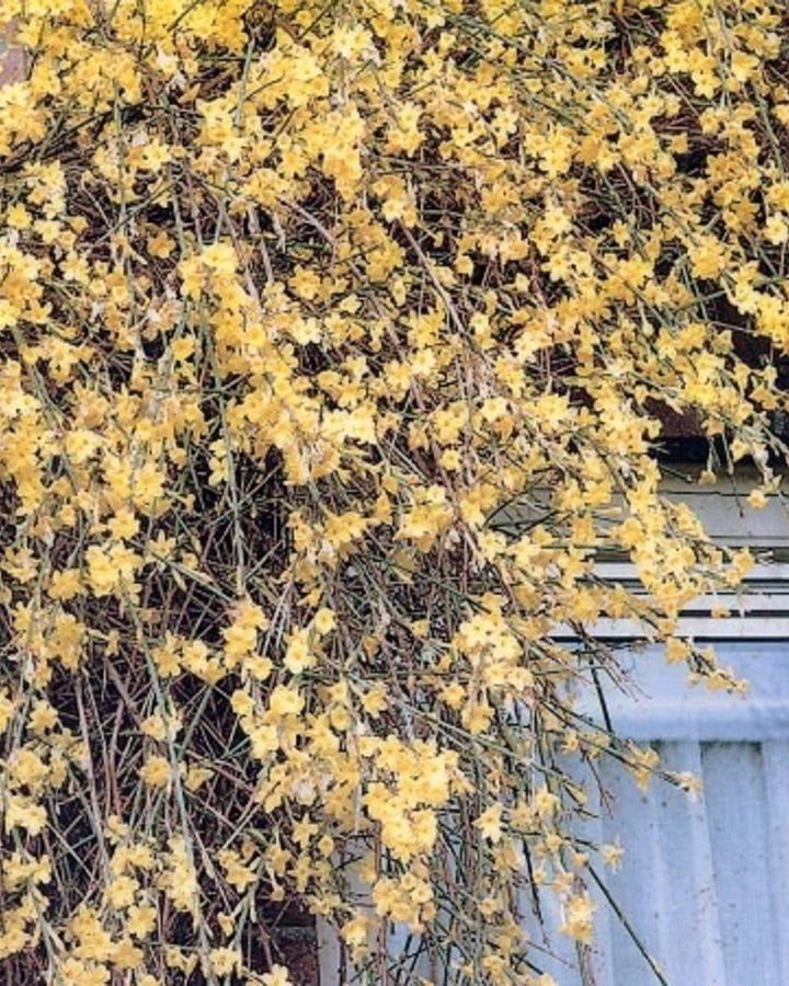 Jasminum nudiflorum / Winterjasmijn