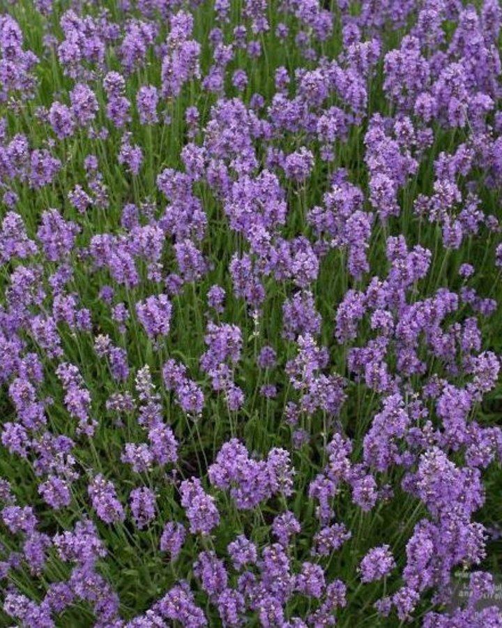 Lavandula ang. 'Munstead'   Lavendel    Vaste plant