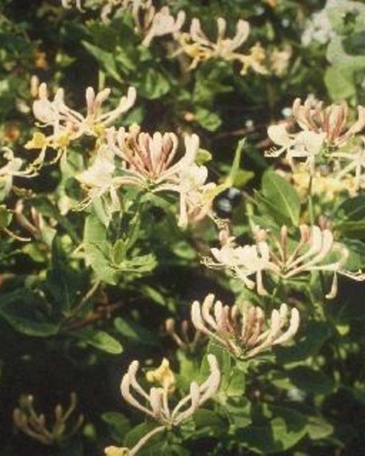 Lonicera caprifolium | Kamperfoelie