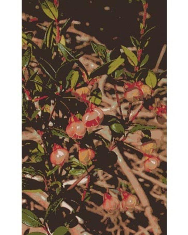 Myrtus Ungi | Mirte